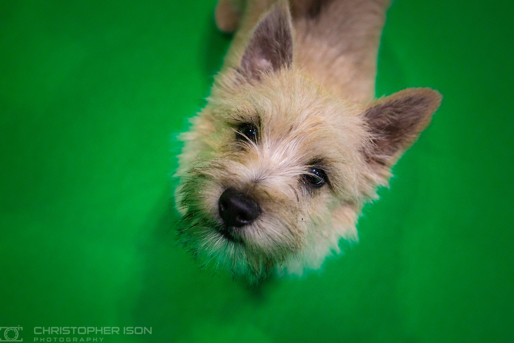 Crufts 2019 shot for The Kennel Club.<br /> Picture date: Saturday March 9, 2019.<br /> Photograph by Christopher Ison ©<br /> 07544044177<br /> chris@christopherison.com<br /> www.christopherison.com