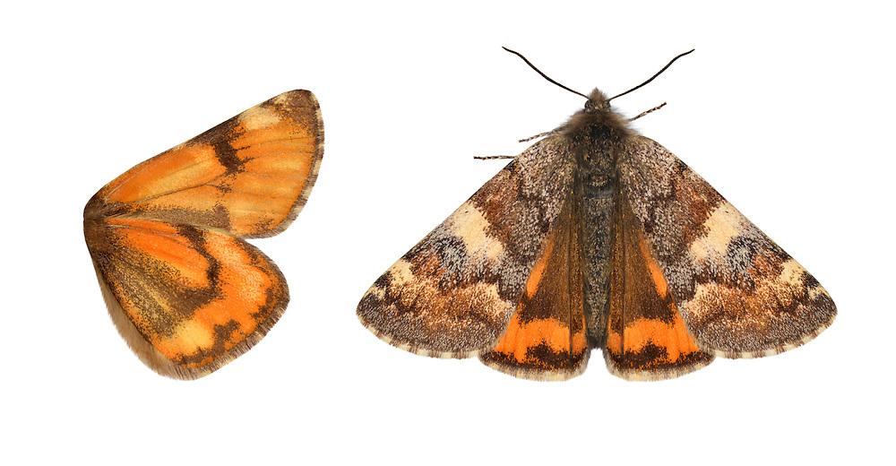 70.203 (1661)<br /> Orange Underwing - Archiearis parthenias