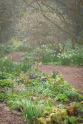 Corylopsis pauciflora, hellebores and Narcissus 'Thalia' in the woodland garden at Glebe Cottage