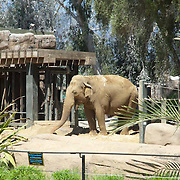 Elephants at Santa Barbara Zoo.Santa Barbara,CA.