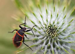 July 4, 2017 - Roseburg, OREGON, U.S - A beetle climbs on a thistle growing in a pasture on a farm near Roseburg in rural Douglas County Oregon. (Credit Image: © Robin Loznak via ZUMA Wire)
