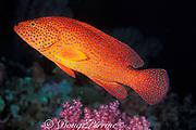 coral grouper, jewel grouper, coral trout, or coral cod, Cephalopholis miniata, Thailand ( Andaman Sea, Indian Ocean )