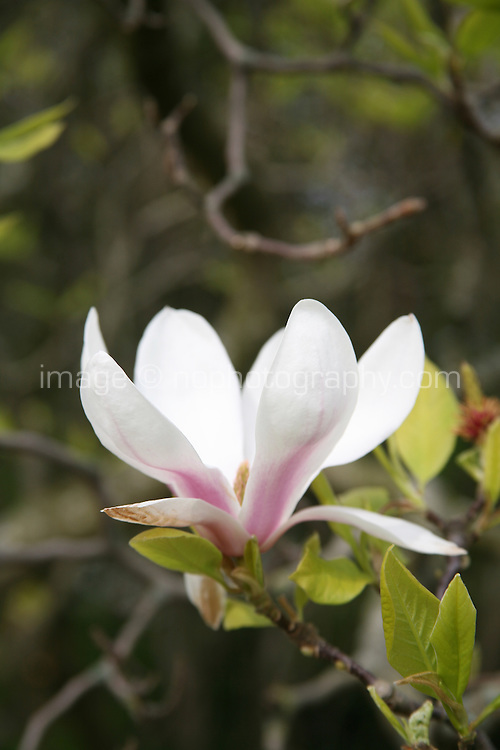Close up of a magnolia tree in blossom
