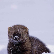 Fisher, (Martes pennanti) Montana. In snow. Winter. Captive Animal.