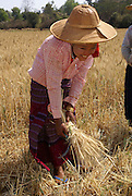 Myanmar, Shan State, Near Heho, peasant women harvest wheat