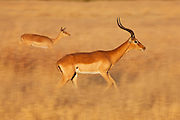 A male and female impala (Aepyceros melampus)  in motion-blur running through the grass , Khwai River, Botswana,Africa