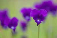 Apulia; Gargano National Park; Gargano Peninsula; Italy; Sweet Violet; Viola odorata