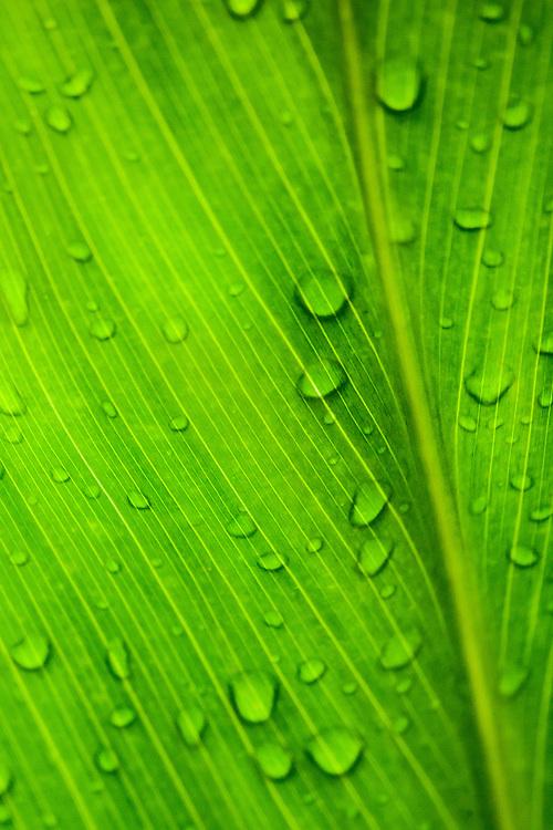 Raindrops on leaf in Hawaii