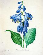 19th-century hand painted Engraving illustration of a Blue plantain lily, Hosta. Hosta ventricosa. [as Hemerocallis caerulea] flower, by Pierre-Joseph Redoute. Published in Choix Des Plus Belles Fleurs, Paris (1827). by Redouté, Pierre Joseph, 1759-1840.; Chapuis, Jean Baptiste.; Ernest Panckoucke.; Langois, Dr.; Bessin, R.; Victor, fl. ca. 1820-1850.
