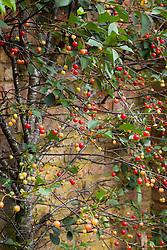 Prunus cerasus 'Morello'  AGM. Morello cherry fan trained against a brick wall