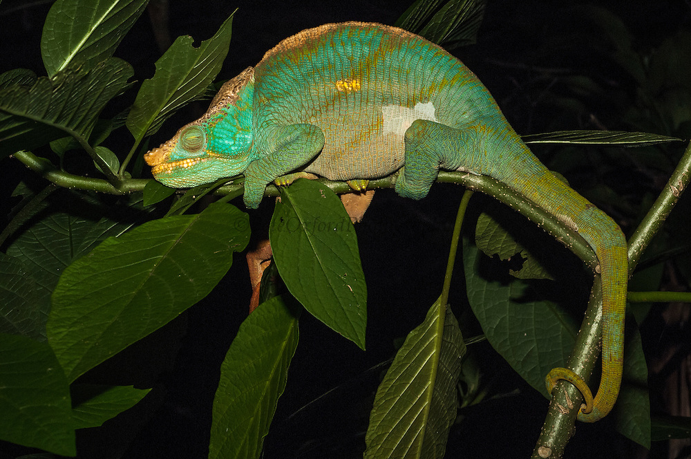 Parson's chameleon male (Calumma parsonii parsonii) NIGHTTIME SLEEPING POSITION. Eastern rain forests from Ranomafana National Park south to Andohahela. (either secondary or primary humid forests) MADAGASCAR<br /> This species is the heaviest (or largest bodied) in Madagascar with Furcifer oustaleti being the longest.  It may reach a length of 55cm. In this species the head bears a high triangular helmet without parietal crest but has paired rostral appendages present in the  males.<br /> There are more than 150 species world wide and over half of those are only found in Madagascar. All species on the island are Native.<br /> Chameleons are well-known for their special adaptions: The ability to change color rapidly to either match their surroundings or to reflect their mood. They have the capacity to move their turreted eyes independently of each other which allows them to look in different directions simultaneously. They have independent 360 degree vision except when hunting they use binocular vison to estimate the distance of the prey. They capture their prey with the rapid firing of their tongue which can extend to approximately half of their body length and is ended with a kind of gluing hammer. All species found in Madagascar lay eggs (Oviparous) and do not give parental care. The calumma and furcifer group are known as true chameleons as they have a prehensile tail.  The Calumma group is highly arboreal, thus the prehenile tail as well as having opposable, fused fingers to grip onto branches. They tend to be solitary except during the breeding season. <br /> Calumma parsonii is CITES 11 classification and needs an export permit to be exported from Madagascar.<br /> ENDEMIC TO MADAGASCAR
