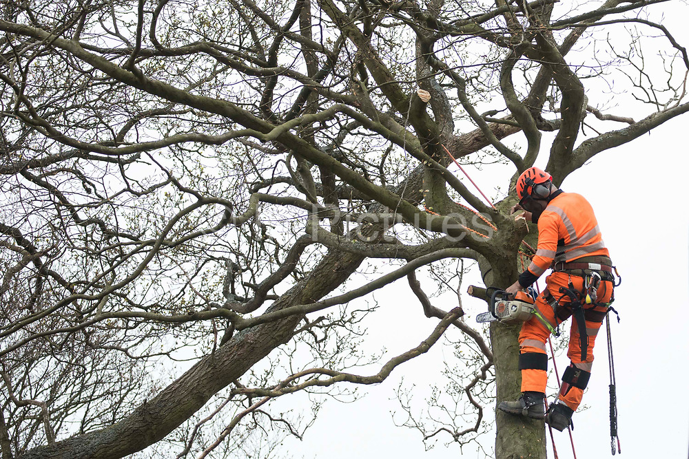 A tree surgeon working on behalf of HS2 Ltd fells a tree in ancient woodland at Jones Hill Wood in the Chilterns AONB as part of works for the HS2 high-speed rail link on 28th April 2021 in Wendover, United Kingdom. Felling of Jones Hill Wood, which contains resting places and/or breeding sites for pipistrelle, barbastelle, noctule, brown long-eared and natterer's bats and is said to have inspired Roald Dahls Fantastic Mr Fox, has recommenced after a High Court judge yesterday refused environmental campaigner Mark Keir permission to apply for judicial review and lifted an injunction on felling for the rail infrastructure project.