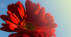 Red Gerber Daisy Soaking Up Some Rays