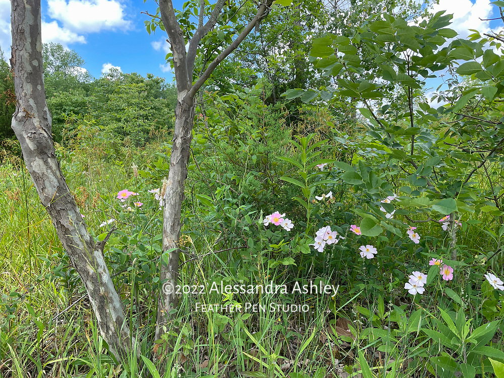 Wild roses blooming alongside beach hiking trail at Alum Creek State Park. Captured on iPhone, because the best camera is the one you have with you!