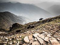 Yaks at Khopra Ridge, Nepal.