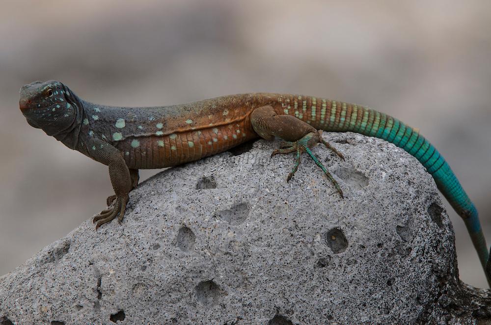 Bonaire Whiptail Lizard (Cnemidophorus murinus ruthveni) Male<br /> BONAIRE, Netherlands Antilles, Caribbean<br /> HABITAT & DISTRIBUTION: Terrestrial mostly on sandy soils<br /> ENDEMIC TO: Bonaire & Klein Bonaire