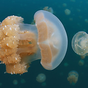 Marine Life   Palau