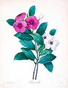 19th-century hand painted Engraving illustration of  Madagascar Periwinkle flowers, by Pierre-Joseph Redoute. Published in Choix Des Plus Belles Fleurs, Paris (1827). by Redouté, Pierre Joseph, 1759-1840.; Chapuis, Jean Baptiste.; Ernest Panckoucke.; Langois, Dr.; Bessin, R.; Victor, fl. ca. 1820-1850.
