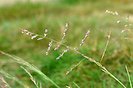 Common Saltmarsh-grass - Puccinellia maritima