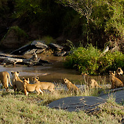African Lion (Panthera leo) Females with cubs deciding to cross river. Masai Mara National Park. Kenya. Africa.