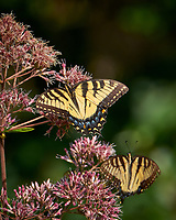 Tiger Swallowtails Butterfly on a Joe Pye Weed. Image taken with a Fuji X-T1 camera and 100-400 mm OIS lens.