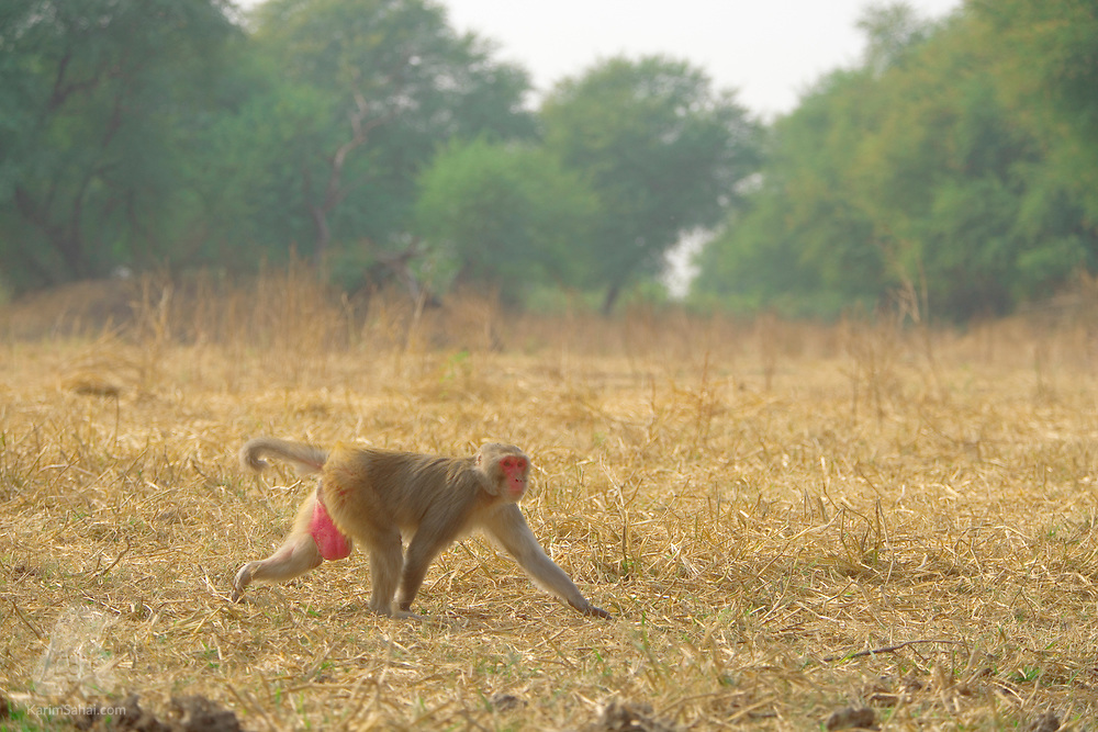 A Rhesus monkey (Macaca mulatta) crosses a grassy area at the Keoladeo Ghana National Park in Rajasthan, India. Rhesus monkeys have given their name to the rhesus antigens present in their blood. Its discovery in 1940 has helped medical scientists to determine the different blood groups in humans.