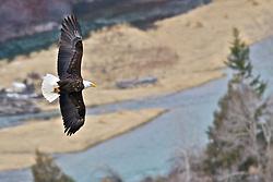 Bald Eagle in Flight over the Snake River near Ririe Idaho