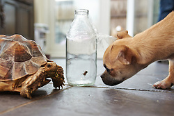 © Licensed to London News Pictures.  06/11/2013. OXFORDSHIRE, UK. <br /> <br /> An unnamed giant tortoise (L) and Abi, a 4 month old Chug (R), look at a milk bottle containing a false widow spider.<br /> <br /> Nursery manager Vicki White (not pictured) found the spider in the bathroom of her Chalgrove home after returning from holiday. After safely trapping it in a milk bottle she has added it to the family's large collection of animals. Vicki and her children own three dogs, four cats, two micro pigs, two giant tortoises, four turtles, two rats and one spider.   <br /> <br /> Photo credit: Cliff Hide/LNP