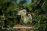 00684-02810 Great Blue Heron (Ardea herodias) pair placing branch on nest   FL