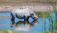 A black Rhino in Namibia.