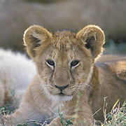 African Lion, (Panthera leo) Cub. Masai Mara Game Reserve. Kenya, Africa.