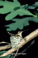 01162-01817 Ruby-throated Hummingbird (Archilochus colubris) female on nest, Marion Co. IL