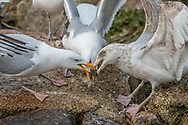 Two adults and an immature herring gull all pulling at a doomed herring.