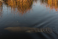 A manatee mother and calf swim along a canal in the Florida Everglades