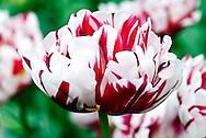 Double Late Tulip 'Carnivale de Nice' Keukenhof Spring Tulip Gardens, Lisse, The Netherlands.