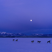 Gray wolf (Canis lupus) pack running across a frozen reservior in southwest Montana. Captive Animal