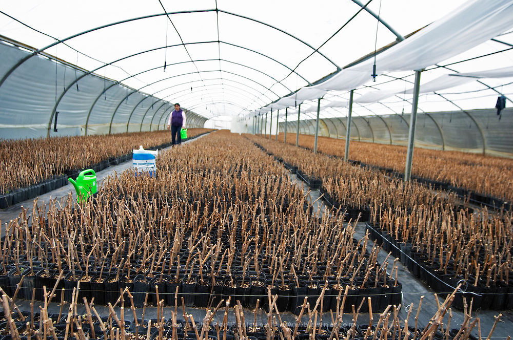 thousands of young pinot noir vines, a person watering in the plant school nursery Bodega Del Fin Del Mundo - The End of the World - Neuquen, Patagonia, Argentina, South America