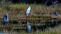 Great Blue Heron (Ardea herodias), Great Egret (Ardea alba) and Little Blue Heron (Egretta caerulea). Black Point Wildlife Drive, Merritt Island Wildlife Refuge. Merritt Island, Brevard County, Florida. Image taken with a Nikon D3 camera and 80-400 mm VR lens.