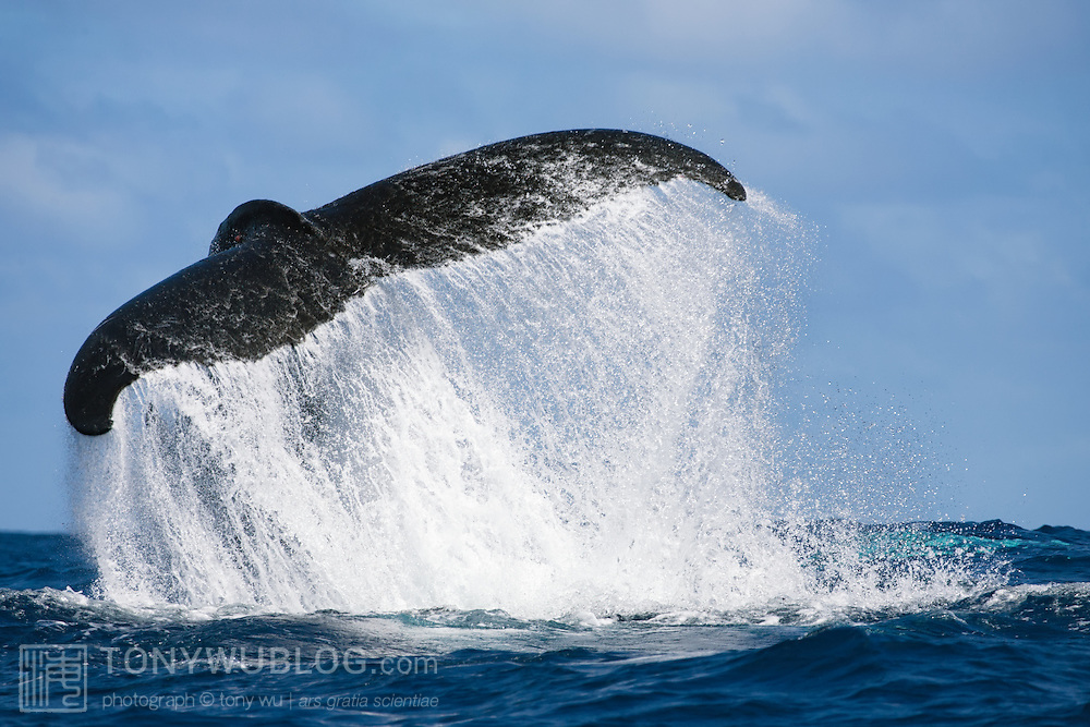 Humpback whale (Megaptera novaeangliae) executing a dramatic tail slap, throwing up a cascade of water with its powerful fluke.