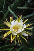 Night blooming cereus<br />