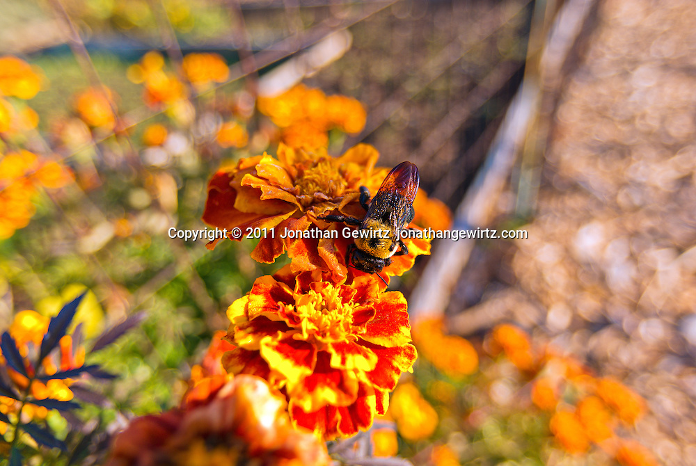 A bumble bee feeding on orange marigold flowers in a garden. WATERMARKS WILL NOT APPEAR ON PRINTS OR LICENSED IMAGES.