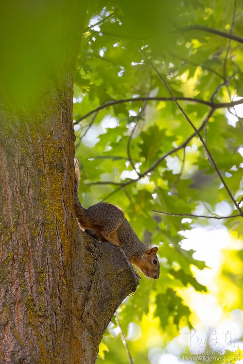 A fox squirrel (Sciurus niger) looks out from its perch high in an oak tree in Potholes State Park in Grant County, Washington. The fox squirrel is the largest tree squirrel native to North America, though its original range consisted of the eastern half of the continent. It was introduced to several western states, including Washington, as well as the Canadian province of British Columbia.