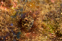 Bluntspine Blenny (Acanthemblemaria exilispinus)<br /><br />Coiba Island, <br />Coiba National Park, Panama<br />Tropical Eastern Pacific Ocean<br /><br />Twin Peaks dive site