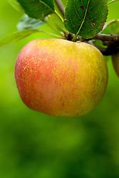 Apple 'Cornish Aromatic' - Malus