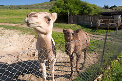 The two new female Dromedary camels added to the Oakland zoo gaze curiously at the camera on their first day on display, Tuesday, Nov. 24, 2009 in Oakland, Calif.  The one-year-old camels were acquired from the Gladys Porter Zoo in Brownsville, Texas. (D. Ross Cameron/Staff)
