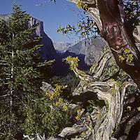 A manzanita shrub frames Yosemite Valley in California's Yosemite National Park.