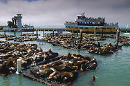 Colony of Sea Lions on dock at Pier 39, San Francisco, California
