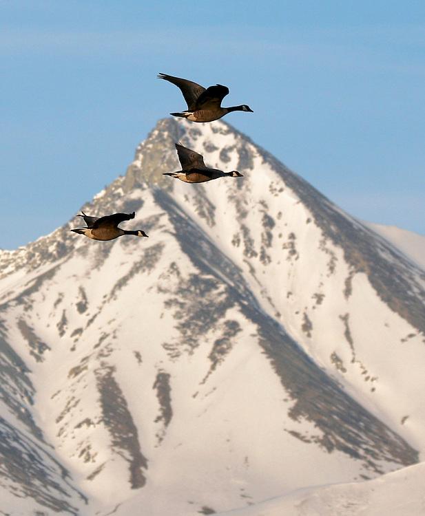 Alaska. Canada Geese (Branta canadensis) flying during spring migration in the Matanuska Valley.