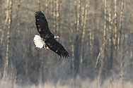 Juvenile Bald Eagle (Haliaeetus leucocephalus) in flight searching for salmon in the Chilkat Bald Eagle Preserve in Southeast Alaska. Winter. Morning.