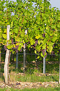 En arcure pruning vineyard domaine gerard neumeyer alsace france